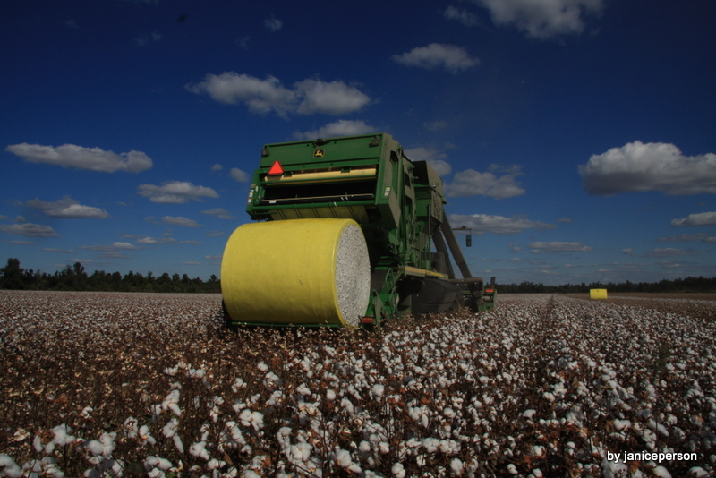 cotton picking time essays Brief history of slavery in north america  staged sit-down strikes and fled to the swamps en masse at cotton picking time  wwwh-netmsuedu/~slavery/essays.