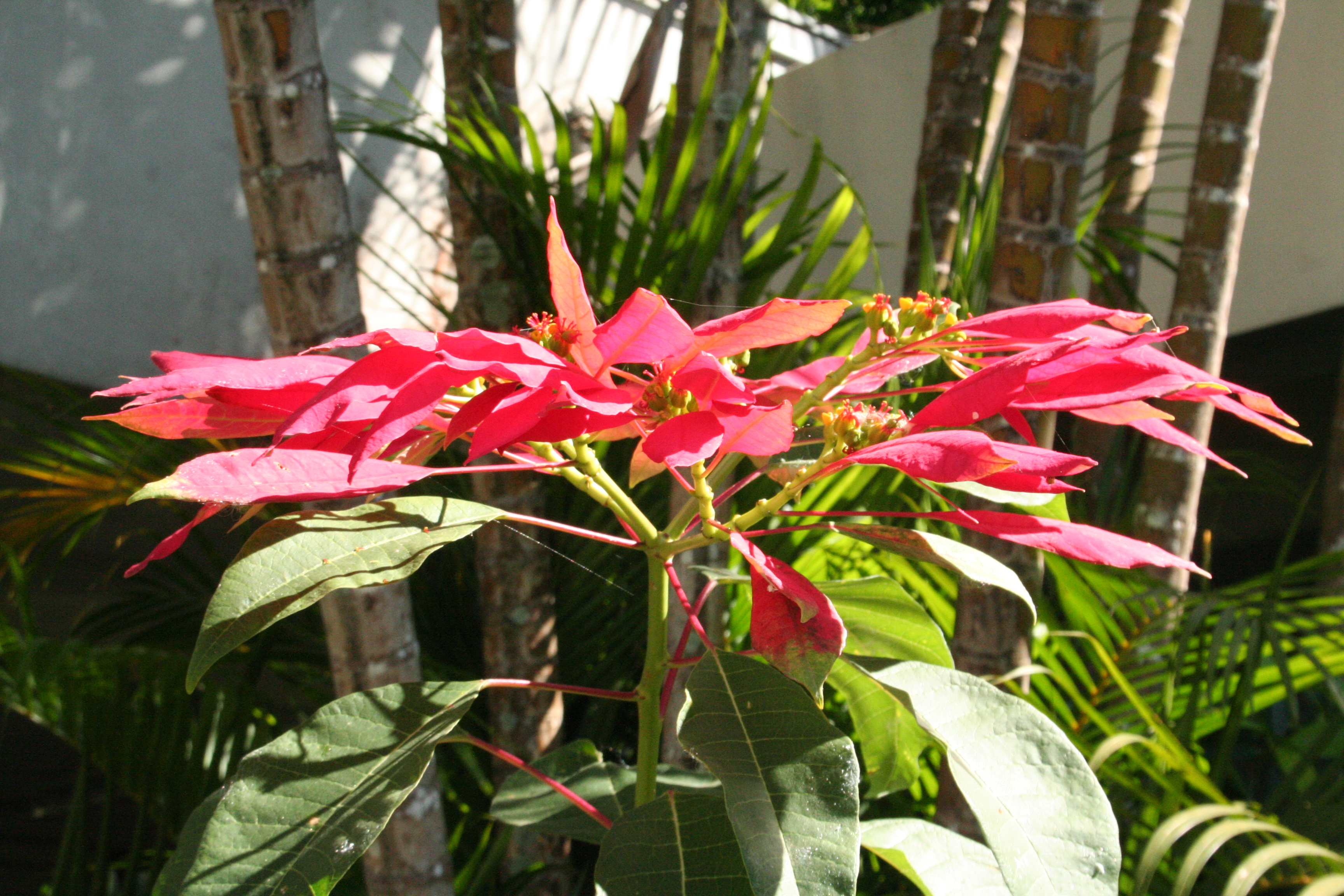 poinsettia plants in a garden