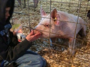 Jackson & Flat Stanley with his 4H pig