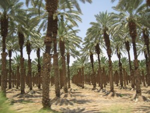 palm trees producing dates