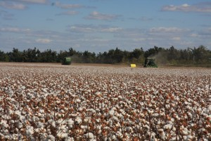 Cotton ready to harvest
