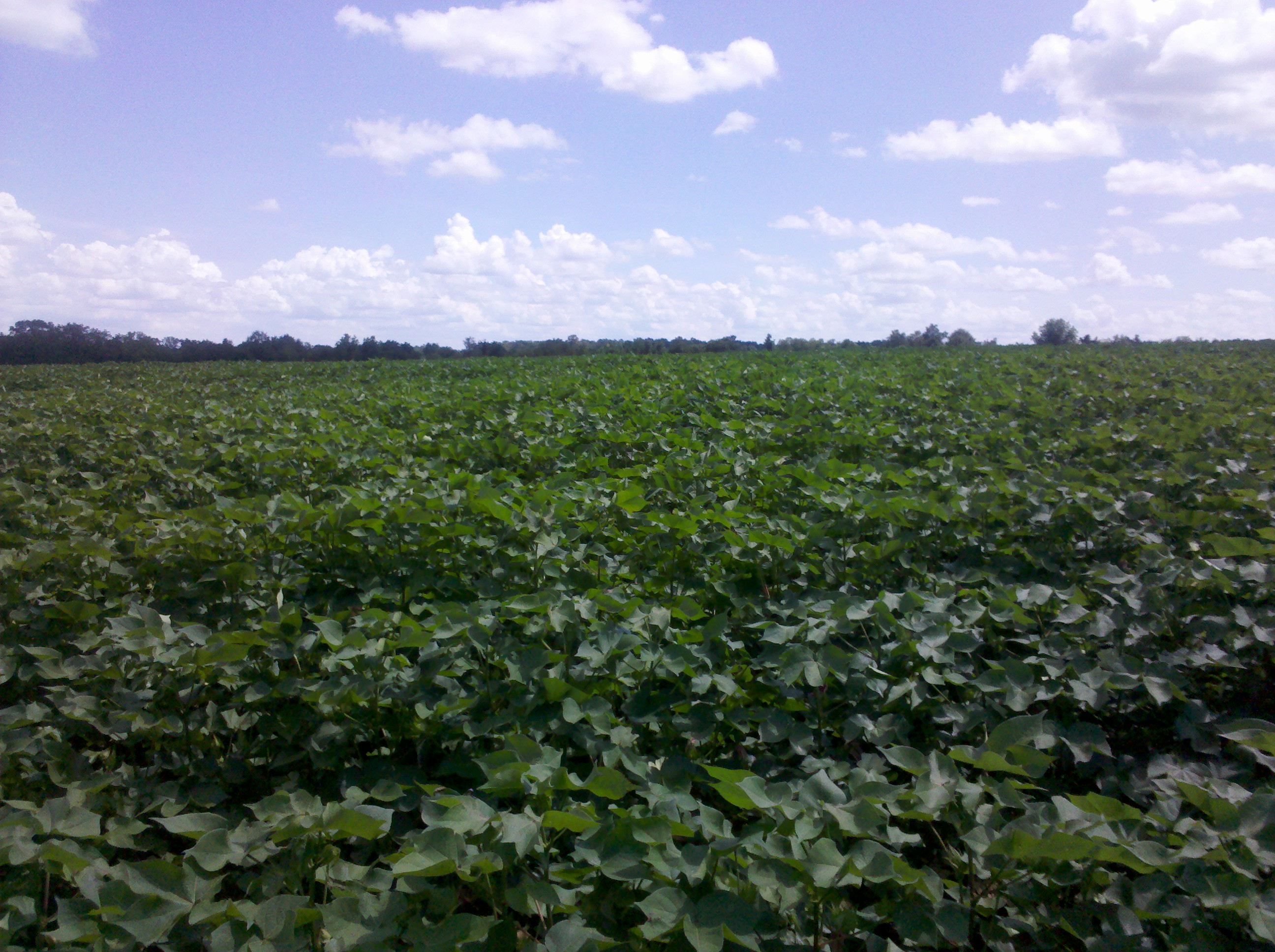 South Georgia cotton field