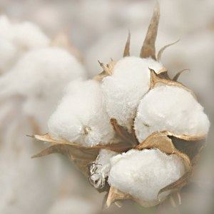 cotton boll close up