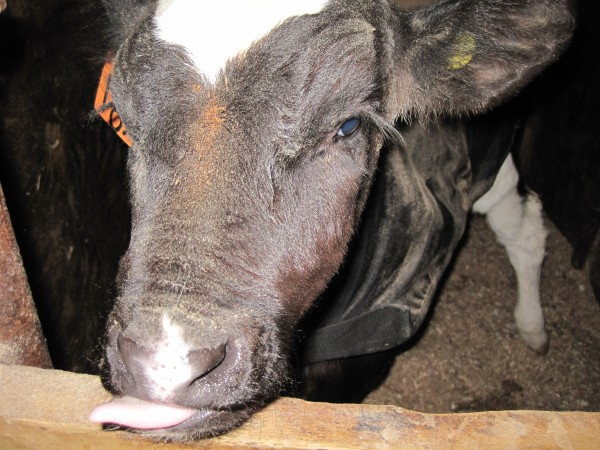 a calf that needed time in the nursery