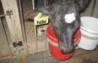 one of the young calves in the nursery