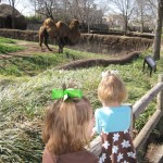 checking out the two humped camel