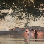 hippos at the STL zoo