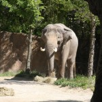 an elephant at the St. Louis Zoo