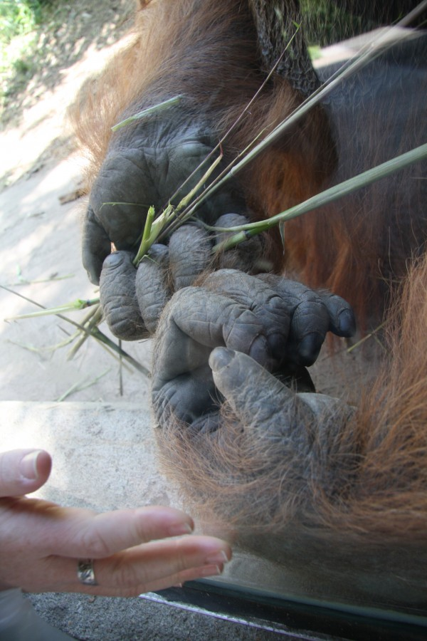 closeup orangutan hands next to Georgia's