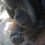 orangutan Robert B at St Louis Zoo