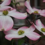 beautiful dogwood trees