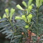 evergreen bushes growing points