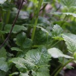 lots of fresh mint overwintered