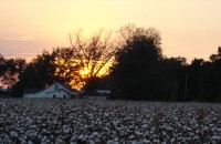 sunset on a cotton field