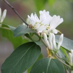 unidentified flowering tree