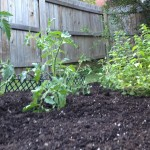 tomato plants and oregano in the garden