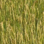 slightly green wheat