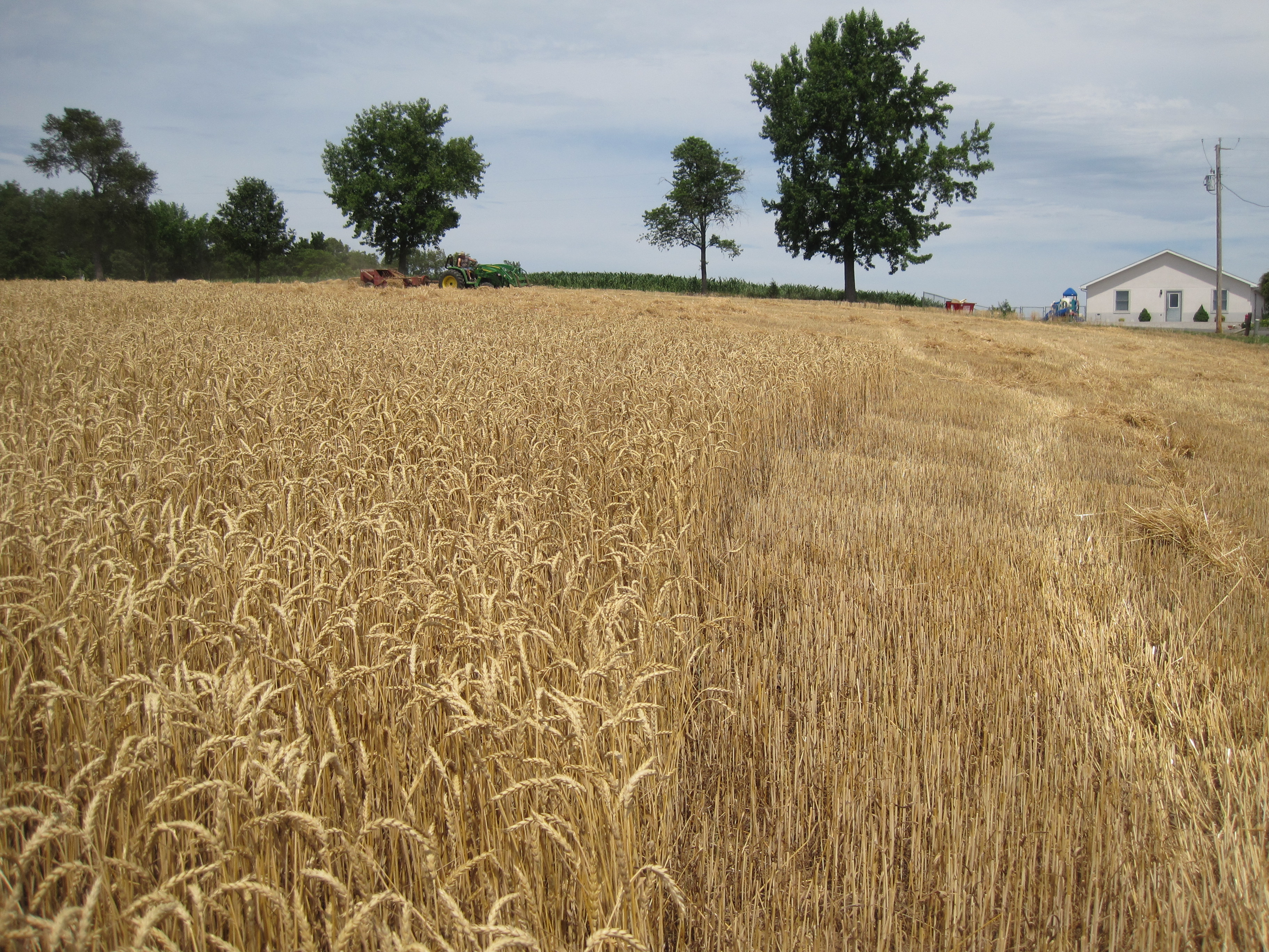 Wheat Fields in the Past Month — Photos from Missouri ...