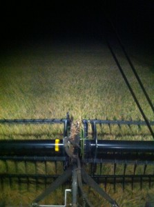 harvesting rice at night