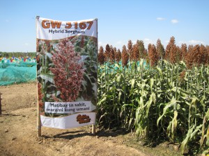 A Philippine sorghum field sign
