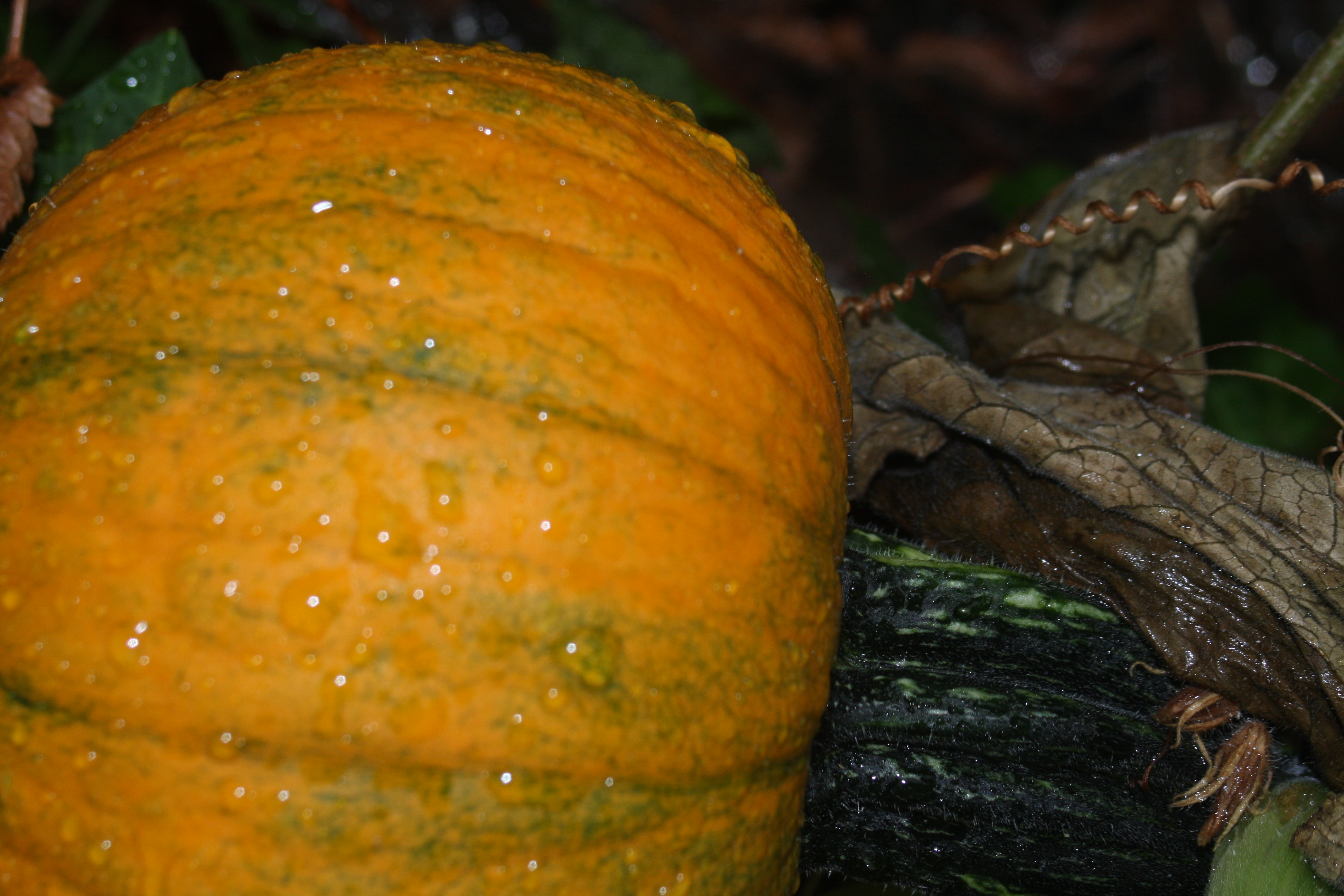 pumpkin covered in raindrops