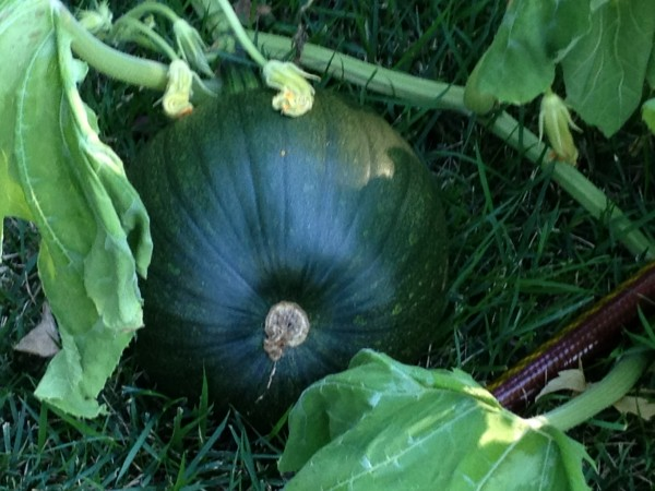 a dark green pumpkin
