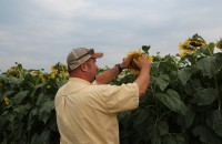 Mark inspects a sunflower head