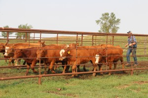 calves headed toward the chute