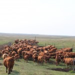 cows returning to pasture