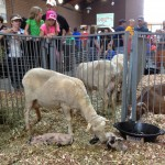 a mama sheep with her new baby lambs