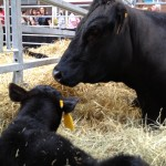 a cow and her new calf