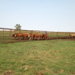 moving calves toward the chute