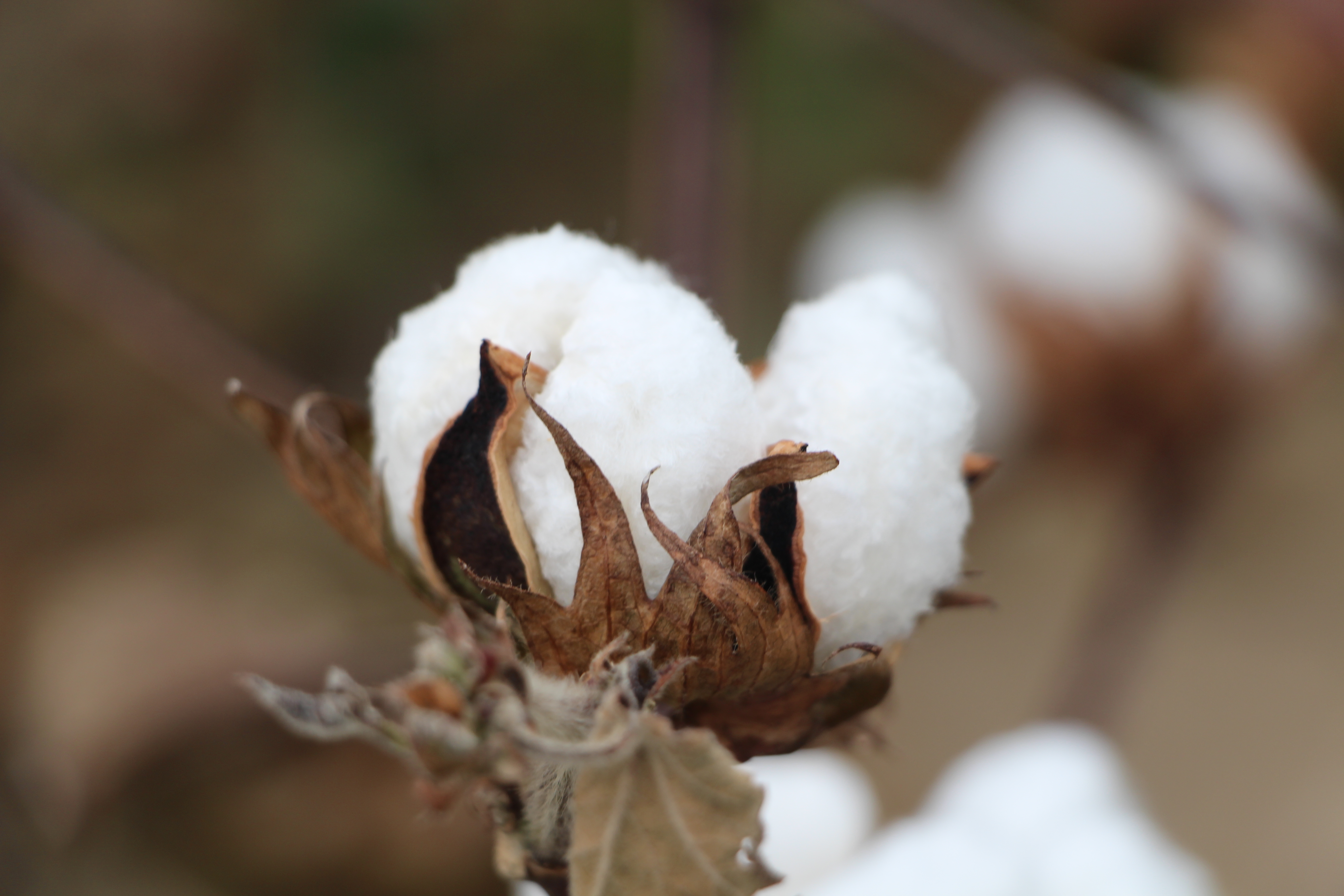 Cotton Plant 101 What do a cotton plant blooms bolls look like