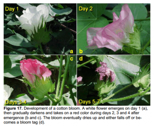 cotton blooms at various stages via MS State