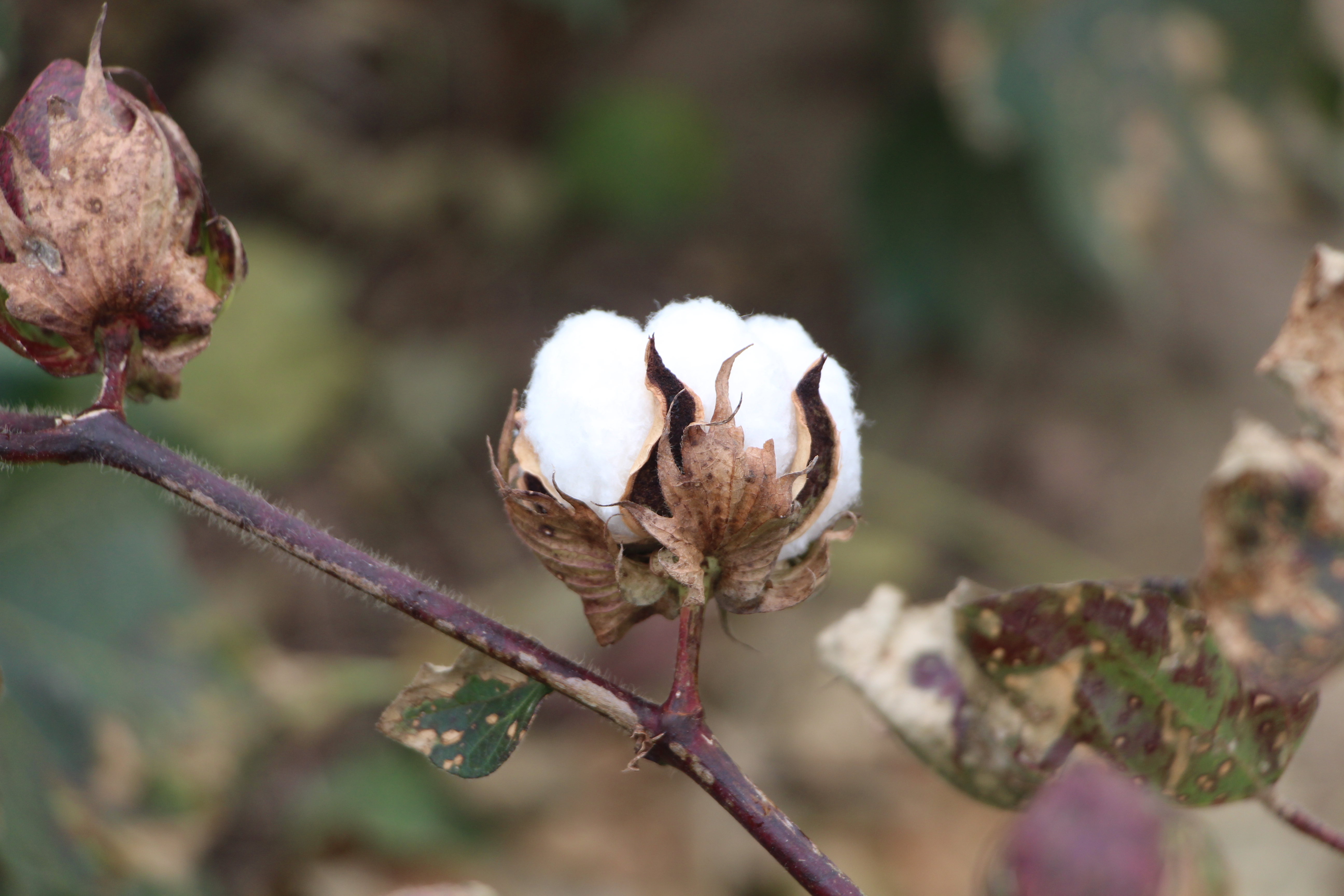 Color Cotton Plant Cracked Boll on a Cotton Plant