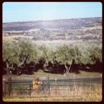 olive orchard