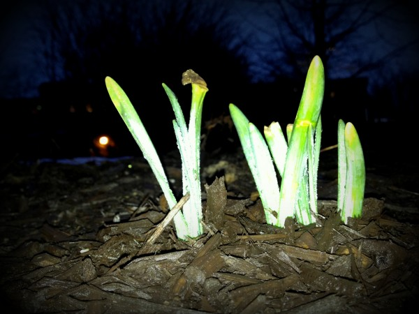 daffodil bulbs begin to grow