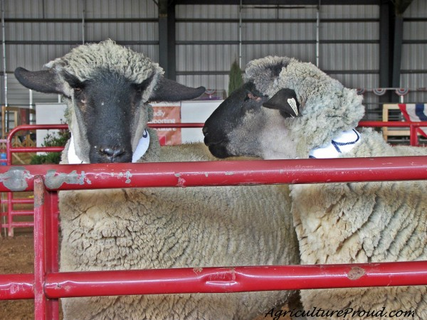 sheep in competition