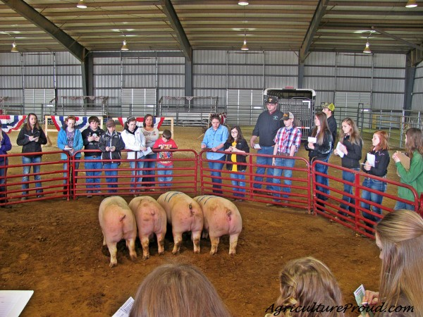 pigs in the show ring