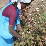 women picking cotton in India