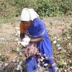 Indian cotton farmer picking cotton by hand