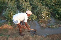 Indian cotton farmer irrigating