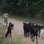 A goatherder on a county road in India
