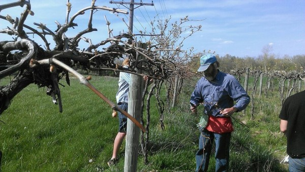 SIU horticulture prof Dr. Brad Taylor pruning grapevines