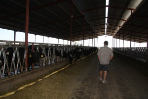 dairy farmer in the barn with