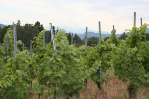 Vineyard nearing harvest