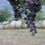 closeup of grapes on the vine vineyard