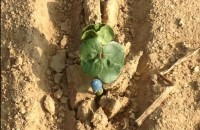 cotton emerging!