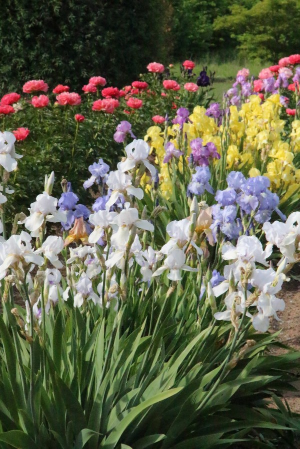 brightly colored irises