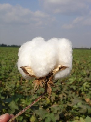 what a cotton boll looks like